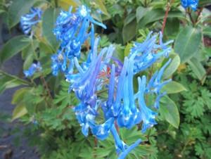 Corydalis Flower
