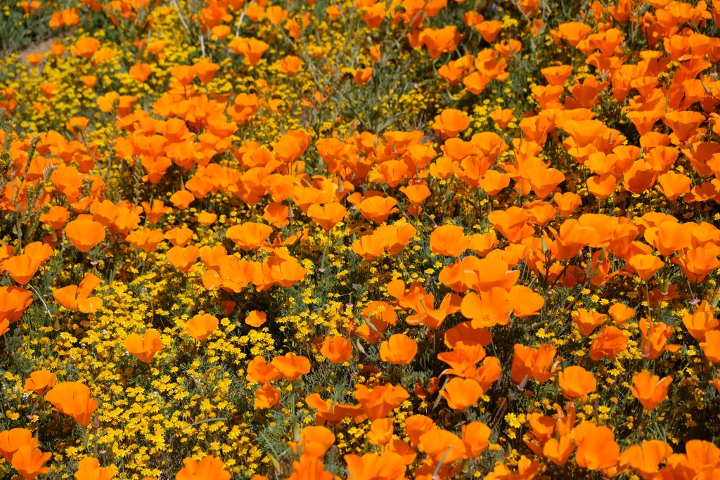 Poppies Superbloom - Nervagesic